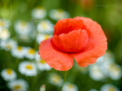 Poppy & Daisy (Karsten Gieselmann) Tags: blumen blüten bokeh czjpancolar50mmf18 dof em5markii farbe grün margerite microfourthirds mohn natur olympus pflanzen rot schärfentiefe vintagelens blossom color daisy flower green kgiesel m43 mft nature poppy red teublitz bayern deutschland