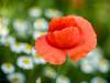 Poppy & Daisy (Karsten Gieselmann) Tags: blumen blüten bokeh czjpancolar50mmf18 dof em5markii farbe grün margerite microfourthirds mohn natur olympus pflanzen rot schärfentiefe vintagelens blossom color daisy flower green kgiesel m43 mft nature poppy red teublitz bayern deutschland