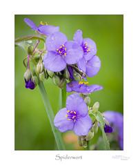 Spiderwort (baldwinm16) Tags: il illinois june bloom blossom flora midwest native nature plant praire season summer wildflower mortonarboretum