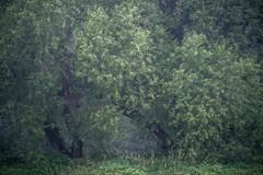 * (sedregh) Tags: siegaue siegmündung bonn meindorf trees bäume baum tree weide