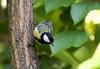 Great Tit (Kremlken) Tags: moldovan birds birding chisinau nikon500 easterneurope parks paridae