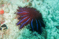 The Beast (roger_forster) Tags: acanthasterplanci crownofthorns starfish maldives diving underwater scuba eating feeding coral predator