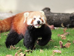 Cheeky Smile (kimmilouise) Tags: red panda fire foxes animals wildlife nature butterfly playing smiles cute happy