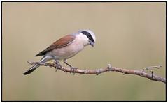 Red-backed Shrike (CliveDodd) Tags: redbacked shrike