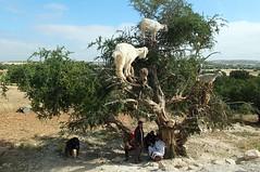 On The Road To Essaouira (crashcalloway) Tags: essaouira morocco northafrica goatsintrees goats trees