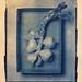 pink garlic (photoni) Tags: allanalogic film fomapan400 20x25cm cianografia img4784 photoni