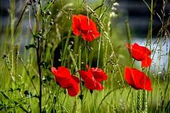 Les coquelicots (Diegojack) Tags: denges vaud suisse plantes d7200 nikon fleurs rouge champs graminées coquelicots