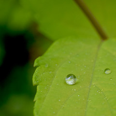 Hydration (nrg_crisis) Tags: macro leaf plant droplet water green macromondays allnatural