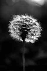 ready to go! (grahamrobb888) Tags: d800 nikon nikond800 nikkor nikkor20mmf18 garden perthshire scotland dandilion seeds blackwhite monochrome contrast backlit