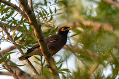 Common Myna (Subash BGK) Tags: araku bird myna mynah mynabird commonmyna