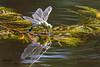 Libellule Anax en cours de ponte - Explored (Oric1) Tags: 22 canon côtesdarmor france jeanlucmolle kerlouis oric1 plévenon armorique breizh bretagne brittany dragonfly eos insecte jardin jardinskerlouis libelluleanax mare eau water reflet reflection explore explored eggs oeufs