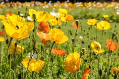 Summer (Bergfex_Tirol) Tags: paris bergfex blüte fülle meadow mohnblume mohn wiese flower yellow poppy orange opulence meconopsis cambrica