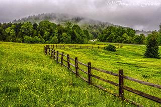 Tea Creek Meadow Buttercups