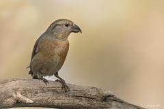 Piquituerto (Sento74) Tags: piquituerto loxiacurvirostra aves birds fauna nikond500 tamron150600g2