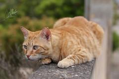 IMG_3524 Rubio, Mallorca (Fernando Sa Rapita) Tags: rubio sarapita mallorca cat gato gatito mascota pet sigma sigmalens canon eos6d canoneos