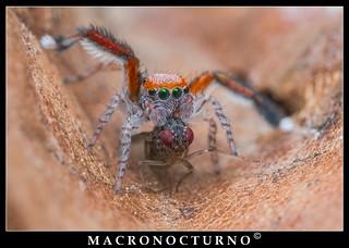 Saitis barbipes eating a fruit fly