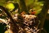 'O Sole Mio (Goromo) Tags: robin bird nestling nest fuzzy feeding begging