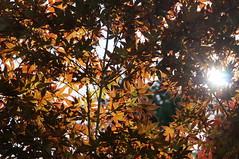 DSC03301 (piderello) Tags: 法多山尊永寺 袋井 静岡 9thjun2018 makroplanar2850 touit2850m