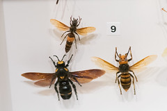Large bees and wasps (quinet) Tags: 2017 canada ontario rom royalontariomuseum toronto museum musée naturalhistory 124