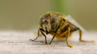 Small Spotty-eyed Dronefly ~ Eristalinus sepulchralis