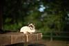 猫 (fumi*23) Tags: ilce7rm3 sony 58mm cosina voigtlander nokton emount feline katze gato neko cat chat animal bokeh depthoffield dof manualfocus fmount miyazaki a7r3 ねこ 猫 ソニー ノクトン コシナ