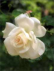 Summer Innocence (Tölgyesi Kata) Tags: rosen rose rózsa botanikuskert botanicalgarden withcanonpowershota620 nemzetibotanikuskert vácrátótibotanikuskert rosa flower rosier blossom vácrátót fleur virág kordes whiteflower