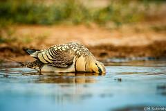Craving Water (The Little Window) Tags: pintailed sandgrouse pteroclesalchata bird summer water hole bath nikond700 600vr benro belchite zaragoza spain
