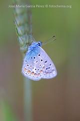 Polyommatus icarus (fotochemaorg) Tags: airelibre aladeanimal animal azul bellezadelanaturaleza coloranaranjado colorverde colorido faunasilvestre flor fragilidad insecto lepidópteros macro mariposa naturaleza polyommatusicarus primavera primerplano