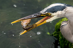 Great Blue Heron flipping lunch (mjeedelbr) Tags: great blue heron flipping lunch