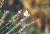 What a beautiful day (Inka56) Tags: 7dwf macroorcloseup butterfly bokeh bokehpainting lavender sunset dreamy hbw