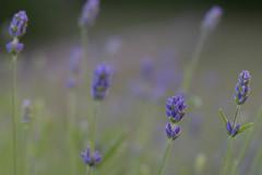 Viol (Svendborgphoto) Tags: nikkor nikon micronikkor micro105 105mm 1054micro nikkorai sonya7ii sonyalpha macro bokeh dof flowers nature