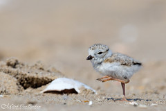 Piping Plover Chick (Endangered) (Mitch Vanbeekum Photography) Tags: plover chick baby young pipingplover mitchvanbeekum mitchvanbeekumcom canon14teleconvertermkiii canoneos1dx canonef500mmf4lisiiusm nj newjersey charadriusmelodus