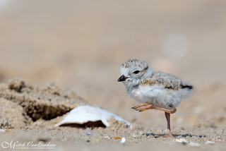 Piping Plover Chick (Endangered)