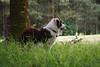 8 months (kayanem) Tags: australianshepherd aussie puppy asd dog