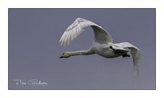 Flypast (timgoodacre) Tags: swan bird birds wildbird waterbird nature wildlife wildfowl wild waterfowl water swans wings