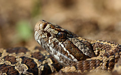 Eastern massasauga rattlesnake (Sistrurus catenatus) (phl_with_a_camera1) Tags: herping herp reptile closeup animal nature eastern massasauga rattlesnake sistrurus catenatus rattle snake venomous venom