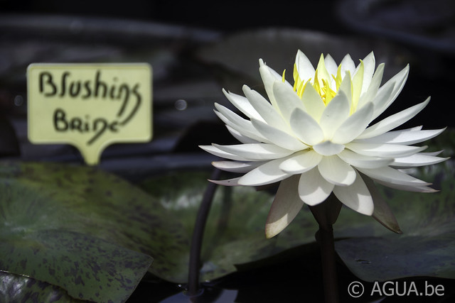 Waterlelie Blushing Bride / Nymphaea Blushing Bride