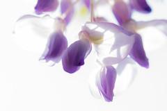 Nature au printemps - (Noir et Blanc 19) Tags: nature plantes fleurs glycine sony a77