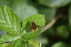 Bombyliidae (esta_ahi) Tags: castelletilagornal insectos fauna bombyliidae diptera penedès barcelona españa spain испания
