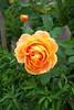 Beautiful Orange Rose.. (Adam Swaine) Tags: roses rose rosegardens flora flowers flower petals england english gardens britain british canon uk nature naturelovers orange se21 eastdulwich green beautiful spring