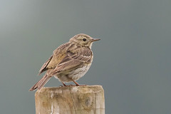 meadow pipit (colin 1957) Tags: meadowpippit pipit cavenhamheath