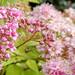 Spiraea flowers