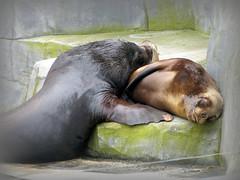 Confortable ? (Raymonde Contensous) Tags: otaries parczoologiquedeparis zoodevincennes animaux nature