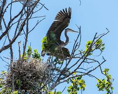 2018.05.28-RHASEMEYER-D750-7266-Edit (rhasmyr) Tags: 2018 ca sanjose usa bird blueheron chicks