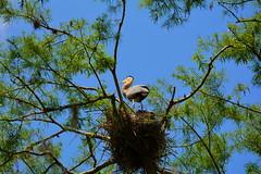 On The Nest (npbiffar) Tags: forest swamp tree sky animal bird outdoor nature npbiffar 70300mm d7100 nikon