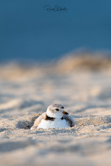 Piping Plover | 2018 - 28 (RGL_Photography) Tags: birding birds birdwatching charadriusmelodus chick endangeredspecies gardenstate gatewaynationalrecreationarea hatchling jerseyshore monmouthcounty mothernature newjersey nikonafs600mmf4gedvr nikond500 ornithology pipingplover plover sandyhook shorebirds us unitedstates wildlife wildlifephotography