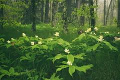 Dreamy Forest (R. Keith Clontz) Tags: forest dreamlike misty springtime falsesolomansseal grassyforest green dreamscape rkeithclontz northcarolina