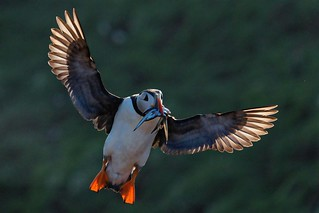 365 - Image 160 - Puffin... 😉👍