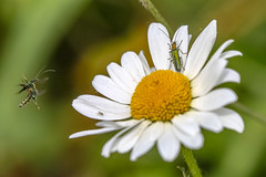 cowabunga dude (Paul Wrights Reserved) Tags: insect insects flyinginsect flying fly flight inflight infocus outoffocus daisy flower flowers flowering summer spring bokeh action actionphotography flapping stamen petals botanical macro