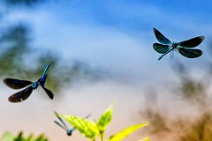 Dance of the Dragonfly (primosavage) Tags: dragonflies aquatic larval stage nymphs naiads dance blue beautiful